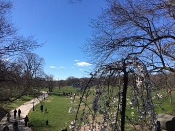 Prospect Park - cherry blossom